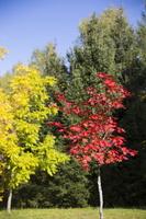Acer pseudosieboldianum · korėjinis klevas 5727