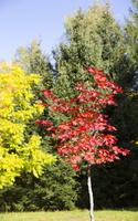 Acer pseudosieboldianum · korėjinis klevas 5728