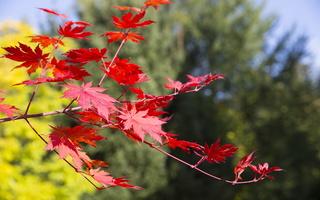 Acer pseudosieboldianum · korėjinis klevas 5729