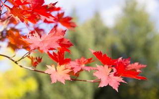 Acer pseudosieboldianum · korėjinis klevas 5730