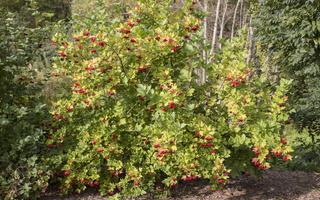Viburnum opulus · paprastasis putinas