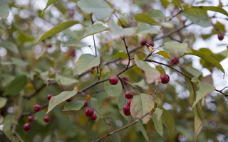 Malus x purpurea 'August Vaga' · obelis
