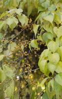 Celastrus orbiculatus · apskritalapis smaugikas