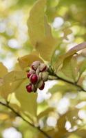 Magnolia stellata · žvaigždinė magnolija