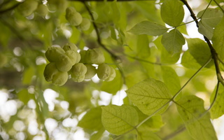 Staphylea pinnata · plunksnalapis lekėčius