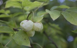 Staphyleaceae · lekėtiniai