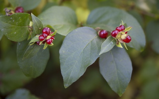 Lonicera vesicaria · korėjinis sausmedis