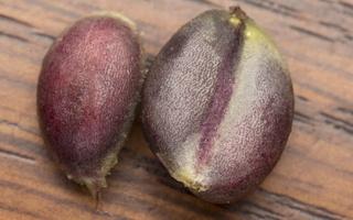 Ligustrum vulgare seeds · paprastasis ligustras, sėklos
