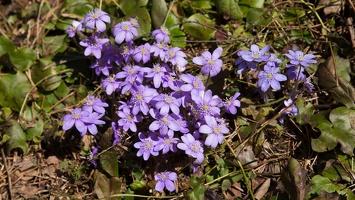 Hepatica nobilis · triskiautė žibuoklė