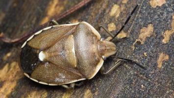 Chlorochroa pinicola · pušinė skydblakė