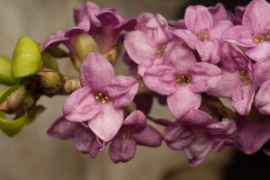 Daphne mezereum flowers · paprastasis žalčialunkis, žiedai
