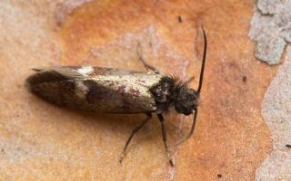 Eriocrania semipurpurella · purpurinė eriokranija