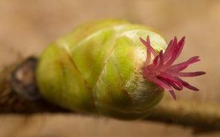 Corylus avellana female flowers · paprastasis lazdynas, moteriški žiedai