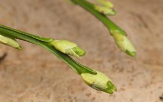 Vaccinium myrtillus leaf buds · mėlynė, lapų pumpurai