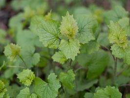Alliaria petiolata leaves · vaistinė česnakūnė, lapai