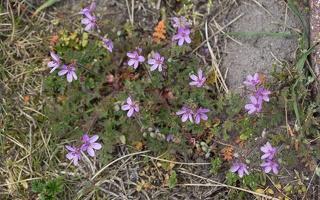 Erodium cicutarium · paprastasis dalgutis 6133