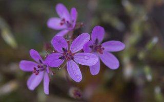 Erodium cicutarium · paprastasis dalgutis 6134