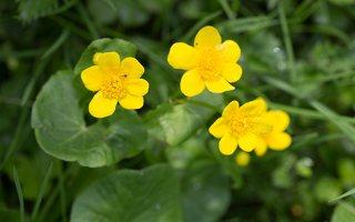 Caltha palustris · pelkinė puriena 6149