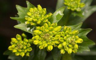 Barbarea vulgaris · paprastoji barborytė 6160