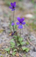 Viola littoralis · pajūrinė našlaitė 6171