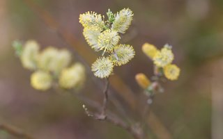 Salix daphnoides · pajūrinis karklas 6178