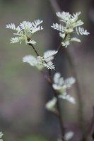 Caragana arborescens · paprastoji karagana