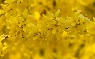 Forsythia sp. 6212