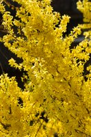 Forsythia sp. 6213