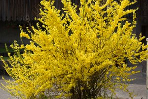 Forsythia sp. 6214