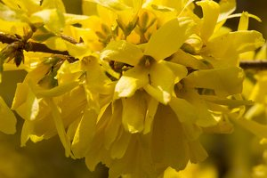Forsythia sp. 6215