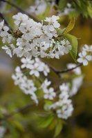 Prunus avium · trešnė 6224