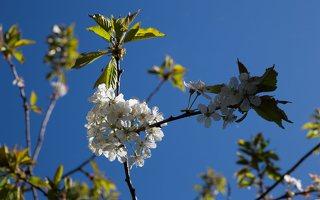 Prunus avium · trešnė