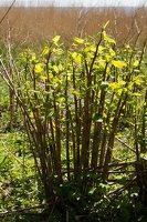 Fallopia japonica · japoninis pelėvirkštis 6237