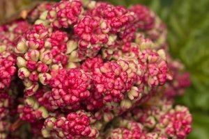 Rheum rhabarbarum inflorescence · daržovinis rabarbaras, žiedynas 6246