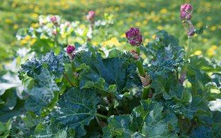 Rheum rhabarbarum · daržovinis rabarbaras