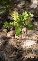 Sorbaria sorbifolia · šermukšnialapė lanksvūnė 6316