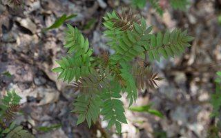Sorbaria sorbifolia · šermukšnialapė lanksvūnė
