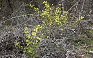 Sambucus racemosa · raudonuogis šeivamedis 6331