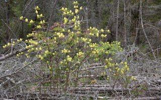 Sambucus racemosa · raudonuogis šeivamedis 6332