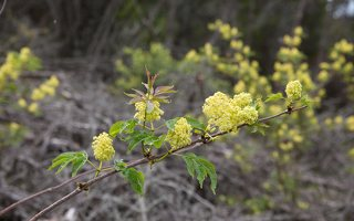 Sambucus racemosa · raudonuogis šeivamedis 6333