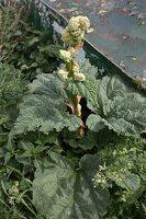 Rheum rhabarbarum · daržovinis rabarbaras 6411