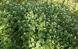 Alliaria petiolata · vaistinė česnakūnė 6499