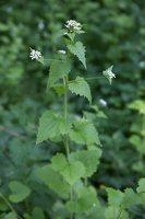 Alliaria petiolata · vaistinė česnakūnė 6500