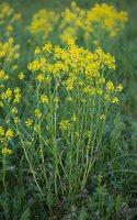 Barbarea vulgaris · paprastoji barborytė 6670