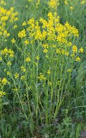 Barbarea vulgaris · paprastoji barborytė 6671