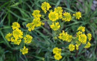 Barbarea vulgaris · paprastoji barborytė 6674