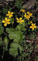 Caltha palustris · pelkinė puriena 6779