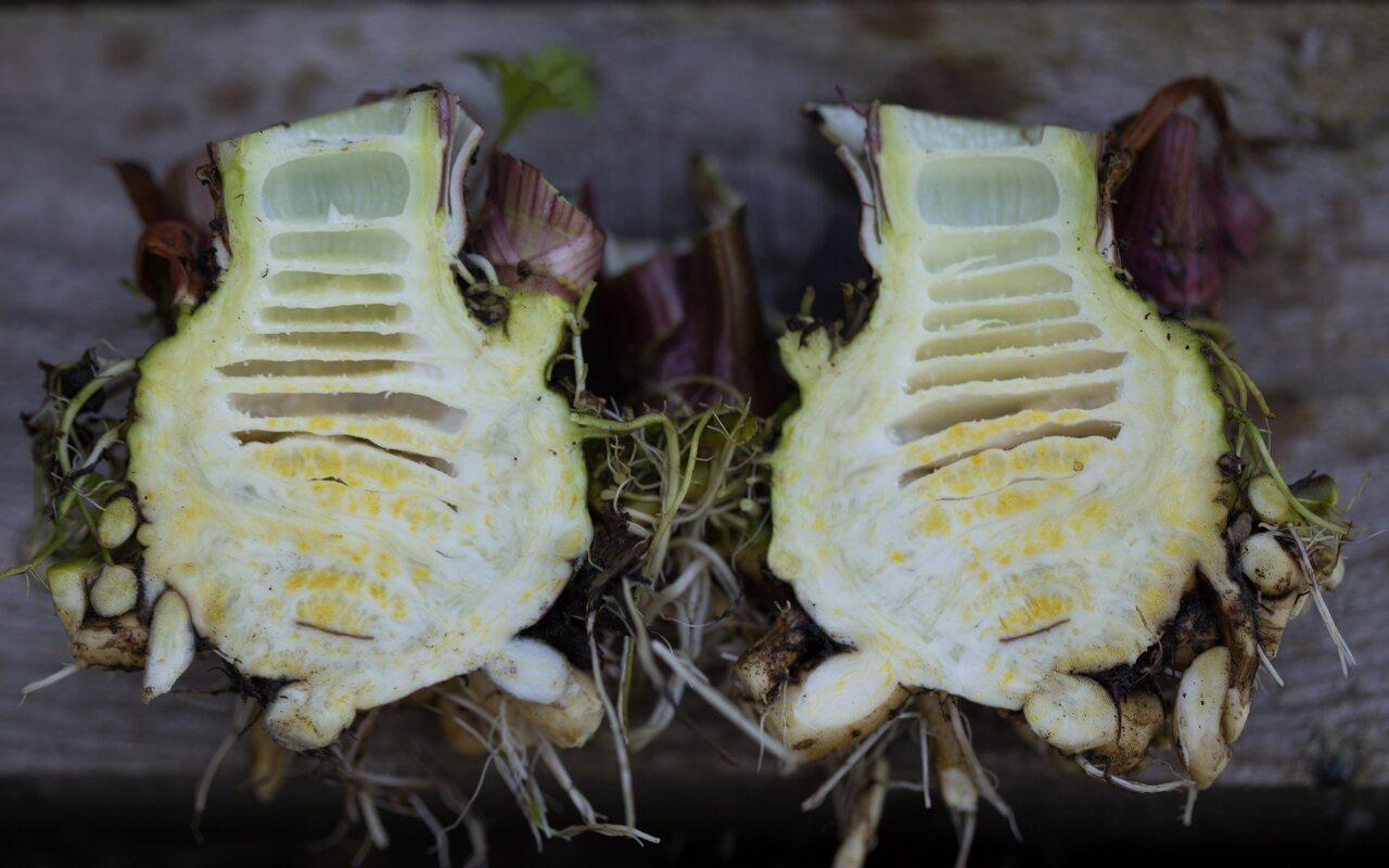 Cicuta virosa · nuodingoji nuokana 6786 -- Tuščiaviduris šakniastiebis su pertvaromis