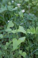 Alliaria petiolata · vaistinė česnakūnė 6806