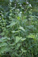 Alliaria petiolata · vaistinė česnakūnė 6807